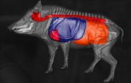 Wild boar shot scheme