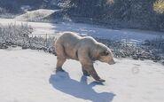 Eurasian Brown Bear Walking