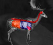 Fallow deer shot scheme