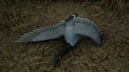Canada goose light gray
