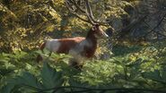 Piebald red deer