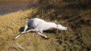 Roosevelt Elk Albino