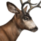 Blacktail deer male common.png
