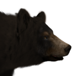 Black bear male common.png
