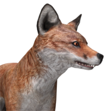 Red fox male common.png