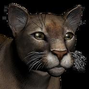 Puma female common