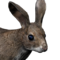 Cottontail rabbit male common.png
