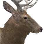 Rocky mountain elk male common.png