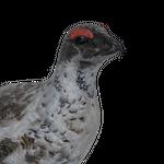 Rock ptarmigan male common.png