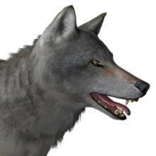 Grey wolf male common.png