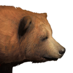 Grizzly bear male common.png