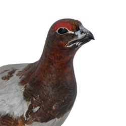 Willow ptarmigan male common.png