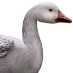 Snow goose male common.png