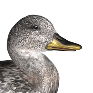 Gadwall male common.png