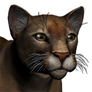 Puma male common