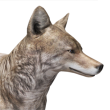Coyote male common.png