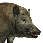 Feral hog male common.png