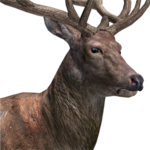 Red deer male common.png