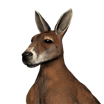 Red kangaroo male common.png