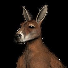 Red kangaroo male common.png