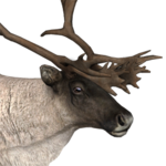 Reindeer male common.png