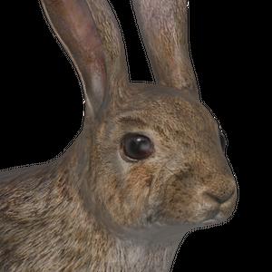 European rabbit male common.png