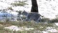 Lynx grey