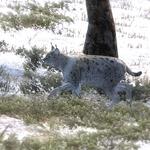 Lynx grey.png