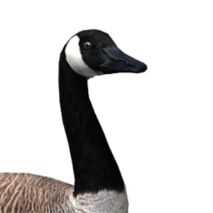 Canada goose male common.png