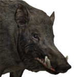 Wild boar male common.png