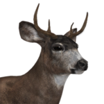 Sitka deer male common.png