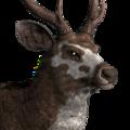 Sambar deer male piebald