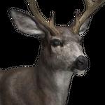 Mule deer male common.png