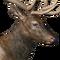 Roosevelt elk male common.png