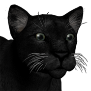 Puma male melanistic