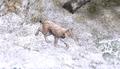 Lynx common2