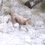 Lynx common2.png