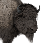 Bison male common.png
