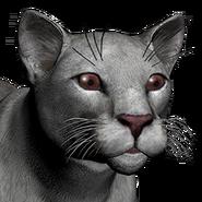 Puma male albino
