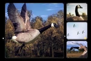 Canada Goose The Hunter Wikia Fandom