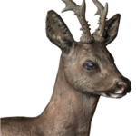 Roe deer male common.png