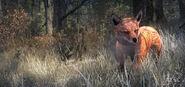 Red Fox Common