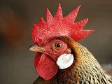 A Chicken Named Dennis