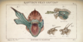 Raptidon Head Anatomy
