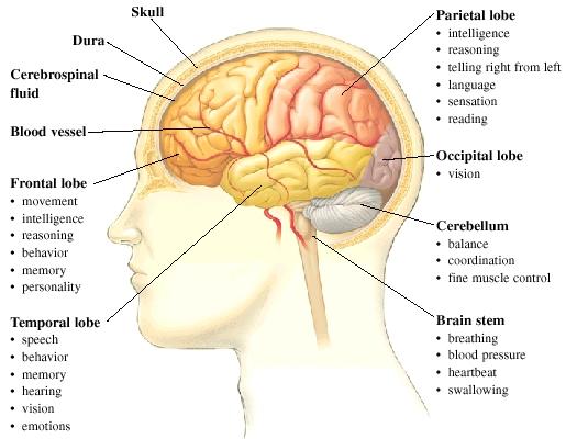 BlackAce9/SlenderMans Effect On The 3 Major Brain Lobes