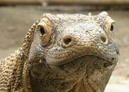 Komodo dragon 01tfk