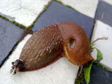 Large Red Slug