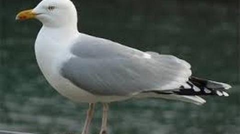 Ivory Gull HD (Pagophila eburnea) Feeding On Fish