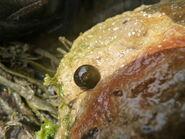 Snakeslock blob