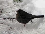 Blackbird (2)